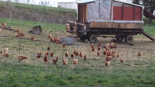 Neighborhood Chicken Ranch 1